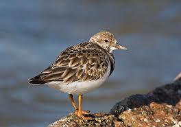 turnstone-bird